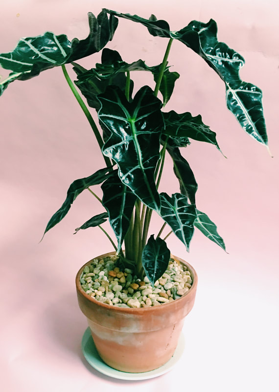 Alocasia-Kris-Indoor-Elephant-Ear-Plant_My-Friend-Court